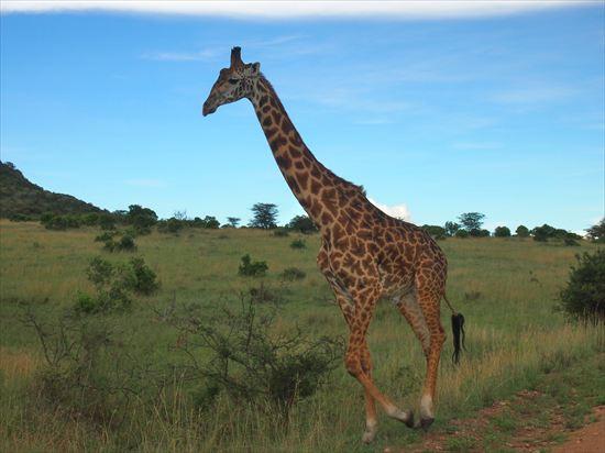 ケニア・マサイマラのサファリツアーでヒヤリとした危険体験