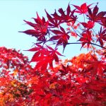 高尾山もみじ台の紅葉