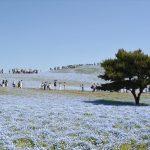 ひたち海浜公園のネモフィラ