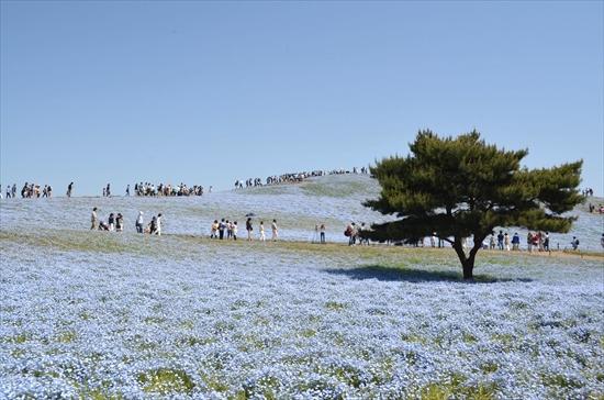 茨城(ひたち海浜公園)ネモフィラ見頃の時期を予測!GWの混雑は…