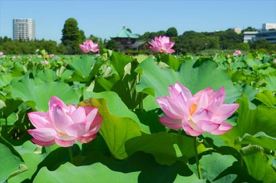 上野不忍池の蓮(ハス)2019年の見頃は7月中旬~。写真スポット&開花時間