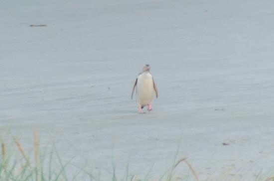 ニュージーランドのペンギンツアーで見た野生ペンギンが可愛すぎた…!
