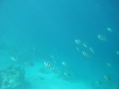 モルディブの海で泳ぐ魚