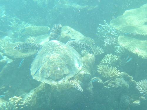 モルディブの海にいたウミガメ