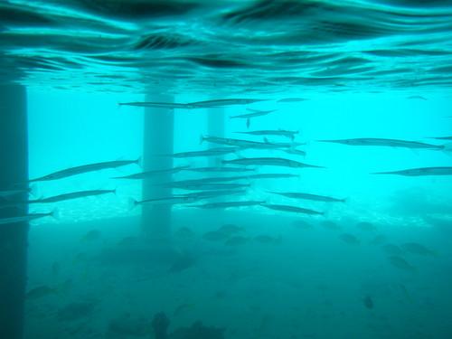 モルディブの海のひょろ長い魚