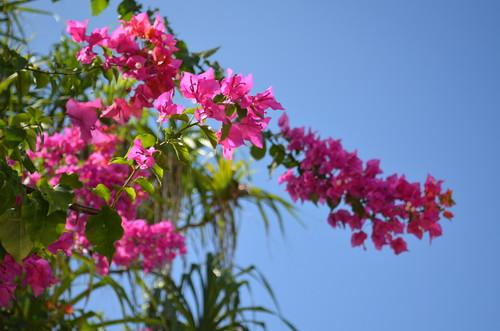 モルディブの島に咲くブーケンビリアの花